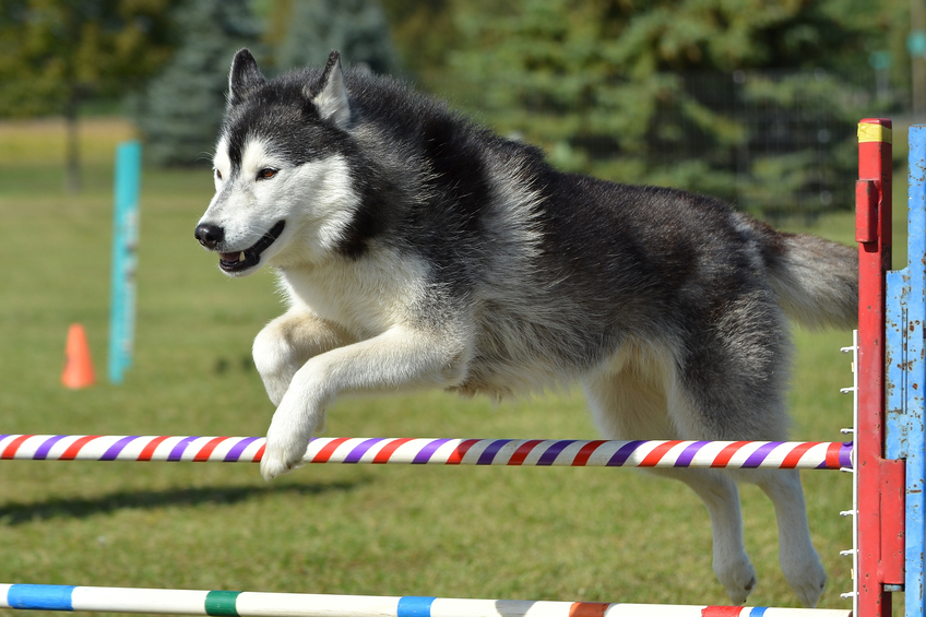 Siberian Husky Leaping Over a Jump at a Dog Agility Trial